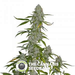 OG Kush - Lemon Larry - Regular Cannabis Seeds - Alpine Seeds