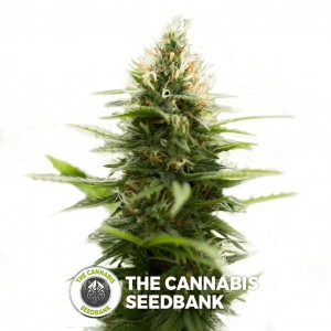 Pure Jack (710 Genetics) - The Cannabis Seedbank