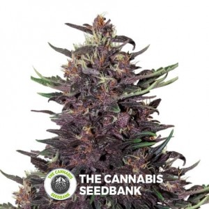 Purple Kush Auto (Buddha Seeds) - The Cannabis Seedbank