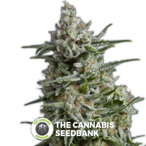 Anesthesia (Pyramid Seeds) - The Cannabis Seedbank