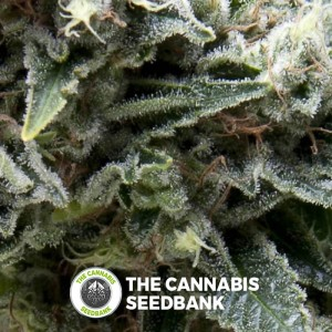 Auto New York City (Pyramid Seeds) - The Cannabis Seedbank