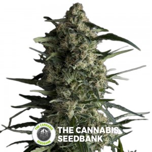 Galaxy (Pyramid Seeds) - The Cannabis Seedbank