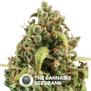 Diesel Auto (Royal Queen Seeds) - The Cannabis Seedbank