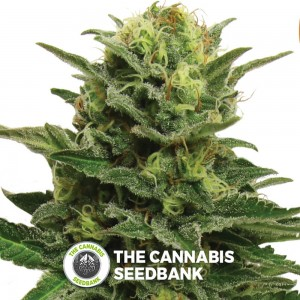 Blue Mystic (Royal Queen Seeds) - The Cannabis Seedbank