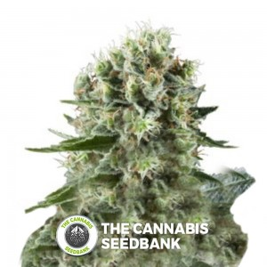 Critical Kush (Royal Queen Seeds) - The Cannabis Seedbank