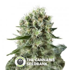 Critical Kush (Royal Queen Seeds) - The Cannabis Seedbank