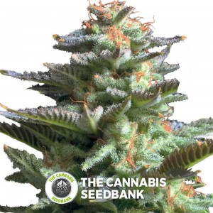 Amnesia Haze (Royal Queen Seeds) - The Cannabis Seedbank