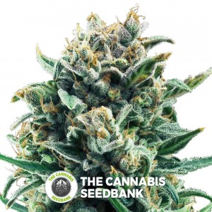 Blue Cheese (Royal Queen Seeds) - The Cannabis Seedbank