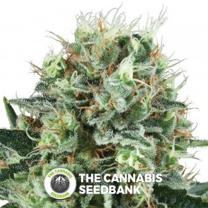 Bubble Kush (Royal Queen Seeds) - The Cannabis Seedbank