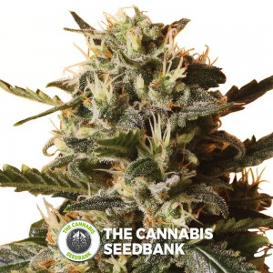 Bubblegum XL (Royal Queen Seeds) - The Cannabis Seedbank