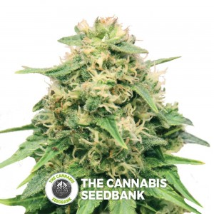 Critical (Royal Queen Seeds) - The Cannabis Seedbank