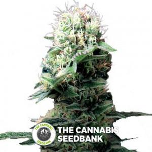 Dance World (Royal Queen Seeds) - The Cannabis Seedbank