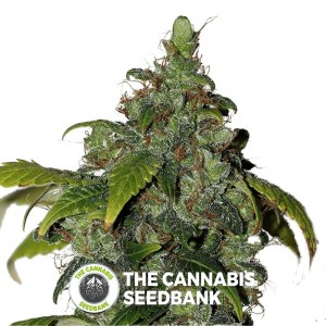 African Buzz Regular Seeds Seedsman