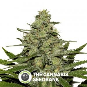 Seedsman CBD Critical Mass Feminised Seedsman