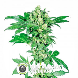 Afghani #1 - Regular Cannabis Seeds - Sensi Seeds