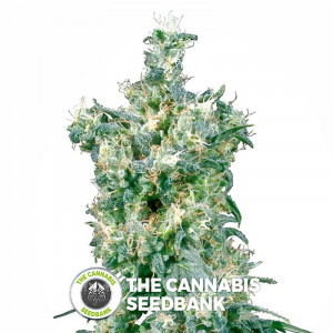 American Dream - Regular Cannabis Seeds - Sensi Seeds
