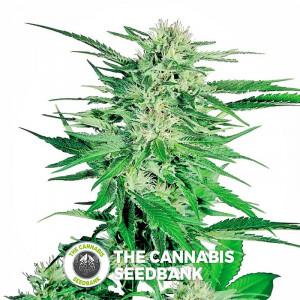 Big Bud - Feminised Cannabis Seeds - Sensi Seeds