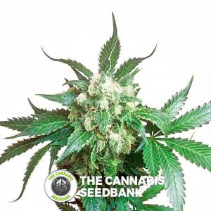 Black Domina - Regular Cannabis Seeds - Sensi Seeds