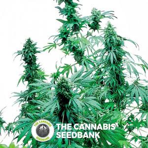 Early Skunk - Feminised Cannabis Seeds - Sensi Seeds