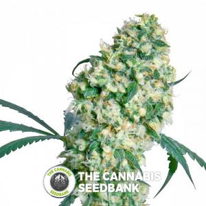 Ed Rosenthal Superbud - Regular Cannabis Seeds - Sensi Seeds
