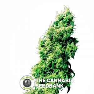 Four Way - Regular Cannabis Seeds - Sensi Seeds