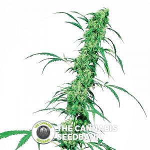 Fruit Juice - Regular Cannabis Seeds - Sensi Seeds