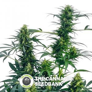 Guerrilla's Gusto - Regular Cannabis Seeds - Sensi Seeds