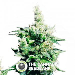 Hash Plant - Regular Cannabis Seeds - Sensi Seeds