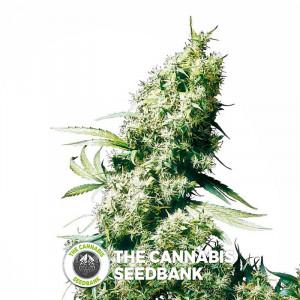 Jamaican Pearl - Regular Cannabis Seeds - Sensi Seeds