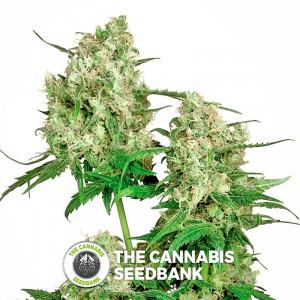 Maple Leaf Indica - Regular Cannabis Seeds - Sensi Seeds