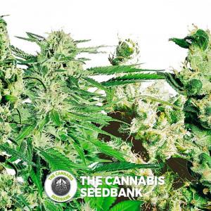 Feminised Mix - Cannabis Seeds - Sensi Seeds