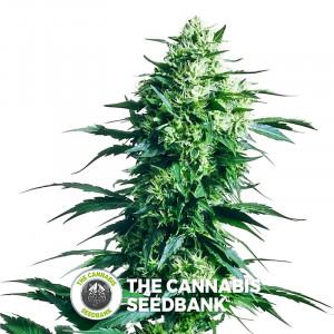 Mother's Finest - Regular Cannabis Seeds - Sensi Seeds