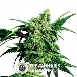 Mr Nice G13 x Hash Plant - Regular Cannabis Seeds - Sensi Seeds