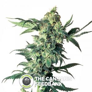 Northern Lights - Feminised Cannabis Seeds - Sensi Seeds