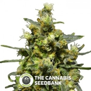 Shellshock (710 Genetics) - The Cannabis Seedbank