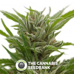Snowfire Isis Kush Regular (Digital Genetics) - The Cannabis Seedbank