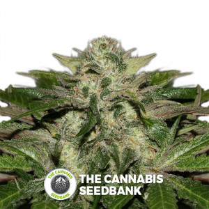 Sweet Chunk - Regular Cannabis Seeds - Alpine Seeds