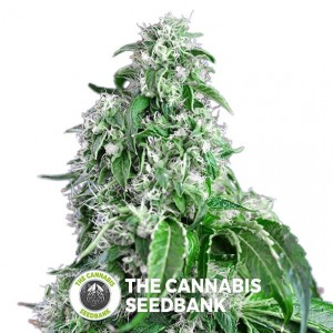 Big Devil FAST Version Feminised Sweet Seeds