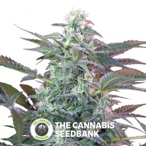 Big Foot Feminised Sweet Seeds