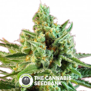 S.A.D. CBD Feminised Sweet Seeds