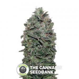 Sweet Soma Auto (00 Seeds) - The Cannabis Seedbank