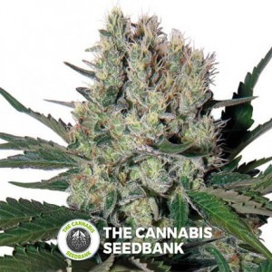 Syrup Auto (Buddha Seeds) - The Cannabis Seedbank