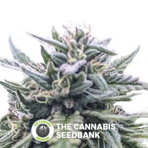 The White Star Regular (Digital Genetics) - The Cannabis Seedbank