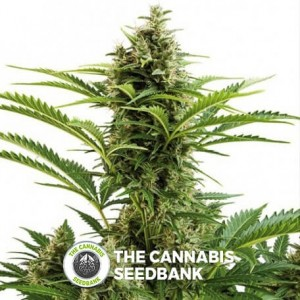 Vesta Auto (Buddha Seeds) - The Cannabis Seedbank