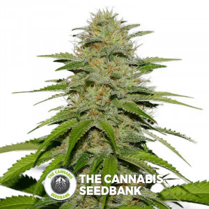 Victory Kush - Regular Cannabis Seeds - Alpine Seeds