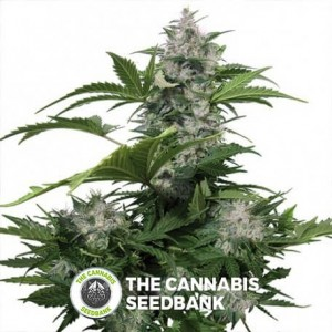 White Dwarf Auto (Buddha Seeds) - The Cannabis Seedbank