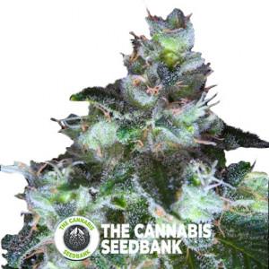 Original White Widow (IBL) - Feminised - Paradise Seeds