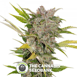 X-Dog - Regular Cannabis Seeds - Alpine Seeds