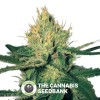 Cannalope Haze Regular (DNA Genetics) - The Cannabis Seedbank