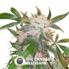 White Widow - Feminised - Dutch Passion